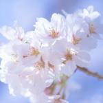 桜の和歌といえば… を100首集めました